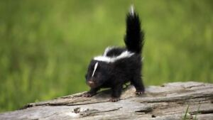 Animal removal & prevention. SKUNKS RACCOONS WILL BEAT ANY QUOTE