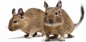 Degus - Excellent Pets/Small Rodents