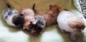 Kittens £300
