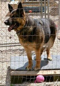 "Adult Female Dog - German Shepherd Dog: ""Tina"""
