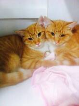 150 Cats and Kittens for Adoption Sydney North Shore Lane Cove Lane Cove Area Preview