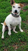 Missing Jack Russell Terrier