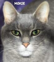 "Adult Male Cat - Domestic Short Hair: ""Mokie 16 (Port Stanley)"""