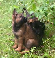Elite Old World DDR & Czech German Shepherd Pups