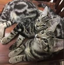 Two beautiful kittens for sale. Blaxland Blue Mountains Preview