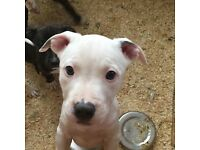 Puppies Ready For Rehoming American Bull Terriers 9weeks old
