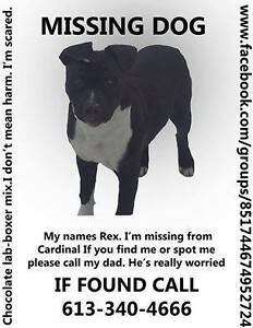 Lost BOXER MIX in Cardinal Cornwall Ontario image 1