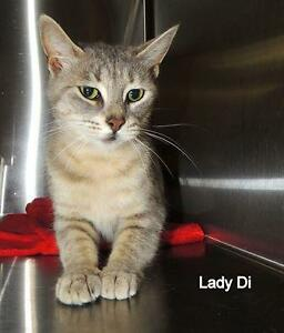 "Adult Female Cat - Dilute Tortoiseshell: ""Lady Di 16 (Aylmer)"""