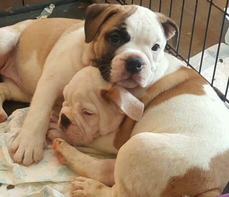 victorian bulldog puppies victorian bulldog puppy last one reduced in west end 3826