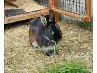 Dwarf rabbit and hutch