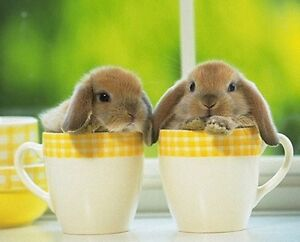 PUREBRED HOLLAND LOP EASTER BUNNIES!