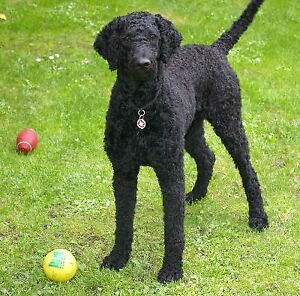 Wanted BLACK STANDARD POODLE