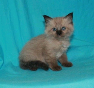 Mink ragdoll kitten available purebred chocolate Lithgow Lithgow Area Preview