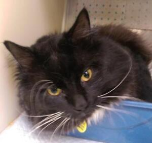 Young Male  - Domestic Long Hair-Domestic Short Hair