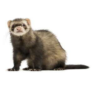 Ferret with Cage and Accessories for Sale