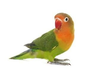 Male budgie or Male/female Love bird