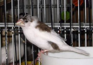 Adorable Chocolate Pied Society Finches(Crested and Non-Crested)