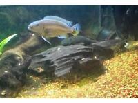 3 Tropical Fish For Sale 2 Live Cichlids and Bristlenose Plec M19