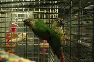 Green-cheeked Conures London Ontario image 2