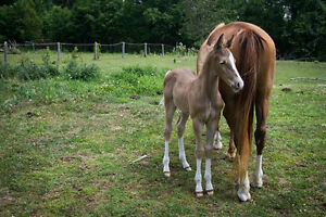 End of Summer Sale!!  Purebred Rocky Mountain Horses!!