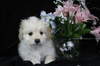 Maltese mix puppies 2 boys 2 girls (cancelation)