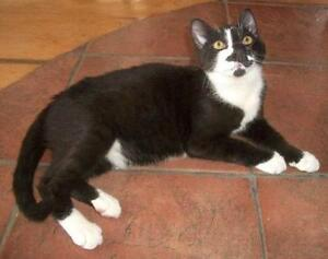 """Young Male Cat - Domestic Short Hair: """"Poirot"""""""