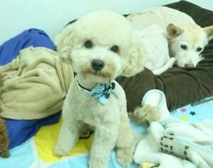 """Young Male Dog - Poodle: """"Ian"""""""