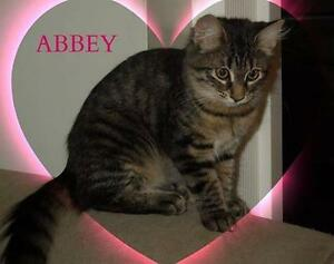 "Baby Female Cat - Domestic Long Hair: ""Abbey"""