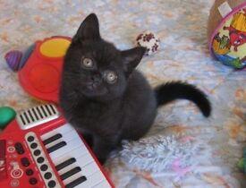 Gorgeous Birtish Shorthair kitten Available Now