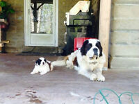 Trip color st bernards Males
