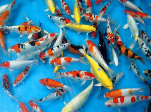 KOI CLEARANCE SALE AT FINATICS! Buy 3 and get 1 FREE!