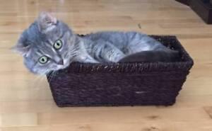Missing  cat - Goldrush Drive in Quispamsis.
