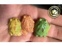 Pac man frogs