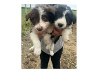 Bearded Collie puppies *Two Sold*