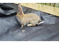Continental giant 16 week old girl rabbit