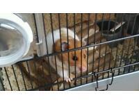 Syrian hamster female for sale