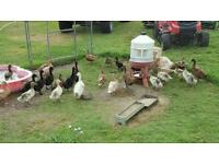 Various poultry