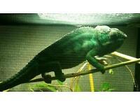 Nosy faly chameleon