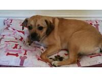 1 year old female pug cross beagle