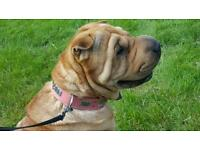 Shar - pei needing a forever home