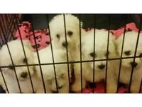 Bichon firse puppies