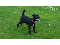 Patterdale x Border Terrier