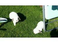 2 dwarf lop rabbits father and son