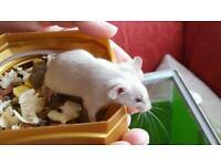 Little baby fancy mice