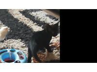 2 x black male kittens
