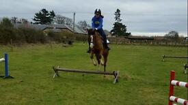 13.2hh Arab x Welsh mare