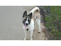 Lost dog akita