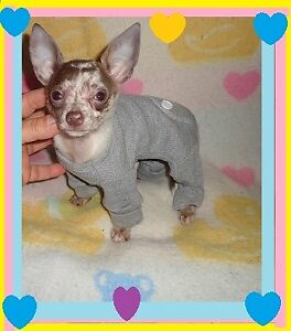 ****   tres belle CHIHUAHUA  arelquin  GROS SPECIAL **
