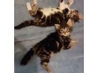 Siberian x kittens