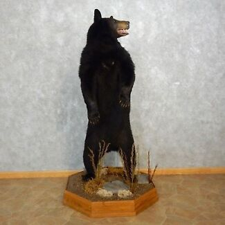 Black Bear - Taxidermy -Standing Mount-Life Size